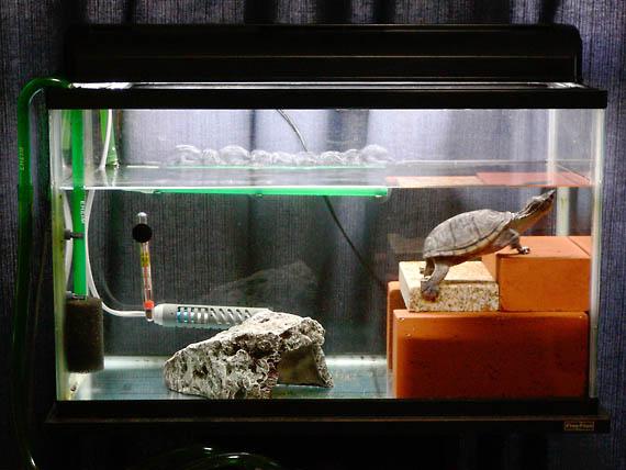 ニオイガメ 飼育 ミシシッピ 【ミシシッピニオイガメのまとめ!】飼育方法や寿命等18個のポイント!